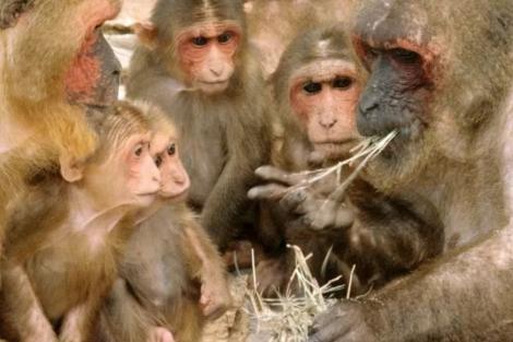 O vírus do macaco B ou herpes B é prevalente entre os macacos, mas extremamente raro e muitas vezes mortal quando se espalha para os humanos